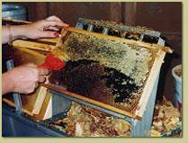 kristallisierter honig in waben